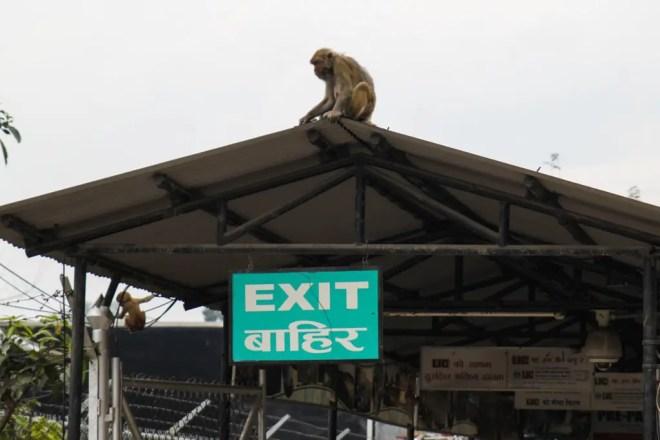 Kathmandu Airport Monkey