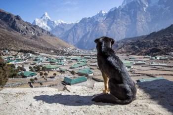 Nepal-Khunde-Ama-Dablam-Dog