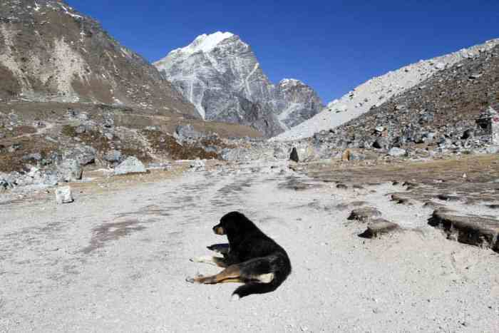 Nepal-Himalaya-Dog