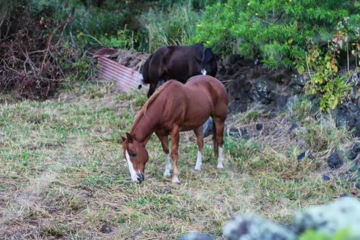 USA-Maui-Horses