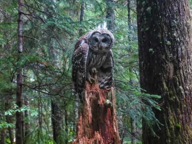 USA-PCT-Washington-Owl