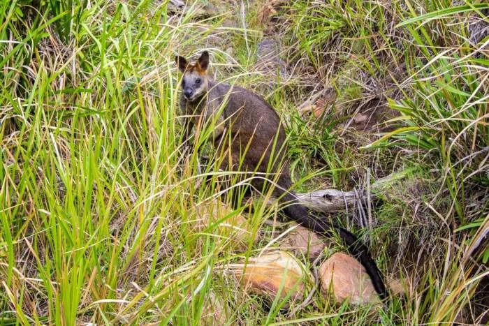 Australia-Sydney-Wallaby