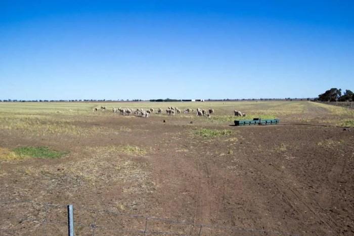 Australia-Sheep-Run