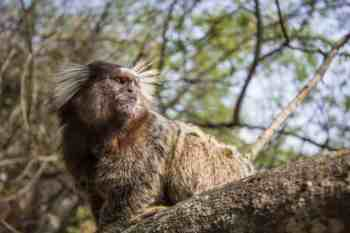 brazil-riode-janeiro-morro-da-urca-monkey