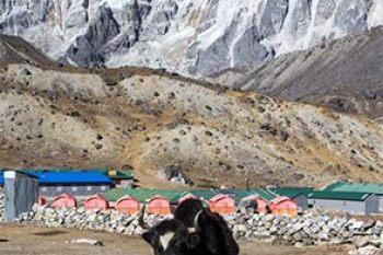 Nepal-Three-Passes-Yak-Vert