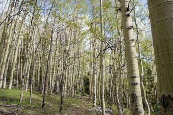 CDT-New-Mexico-Aspen-Grove