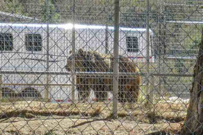 PCT-Desert-Caged-Grizzly-Bear