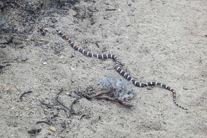 PCT-Desert-Mystery-Snake