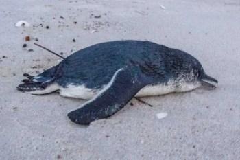 Tasmania-Wine-Glass-Bay-Dead-Penguin