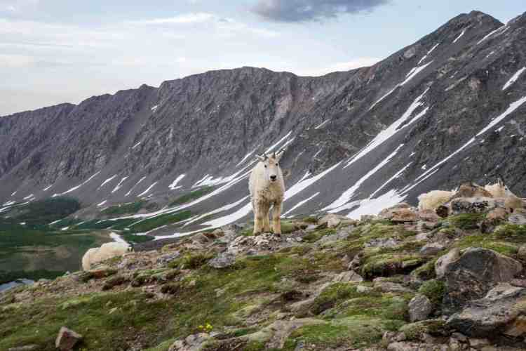 CDT Colorado Mountain Goat