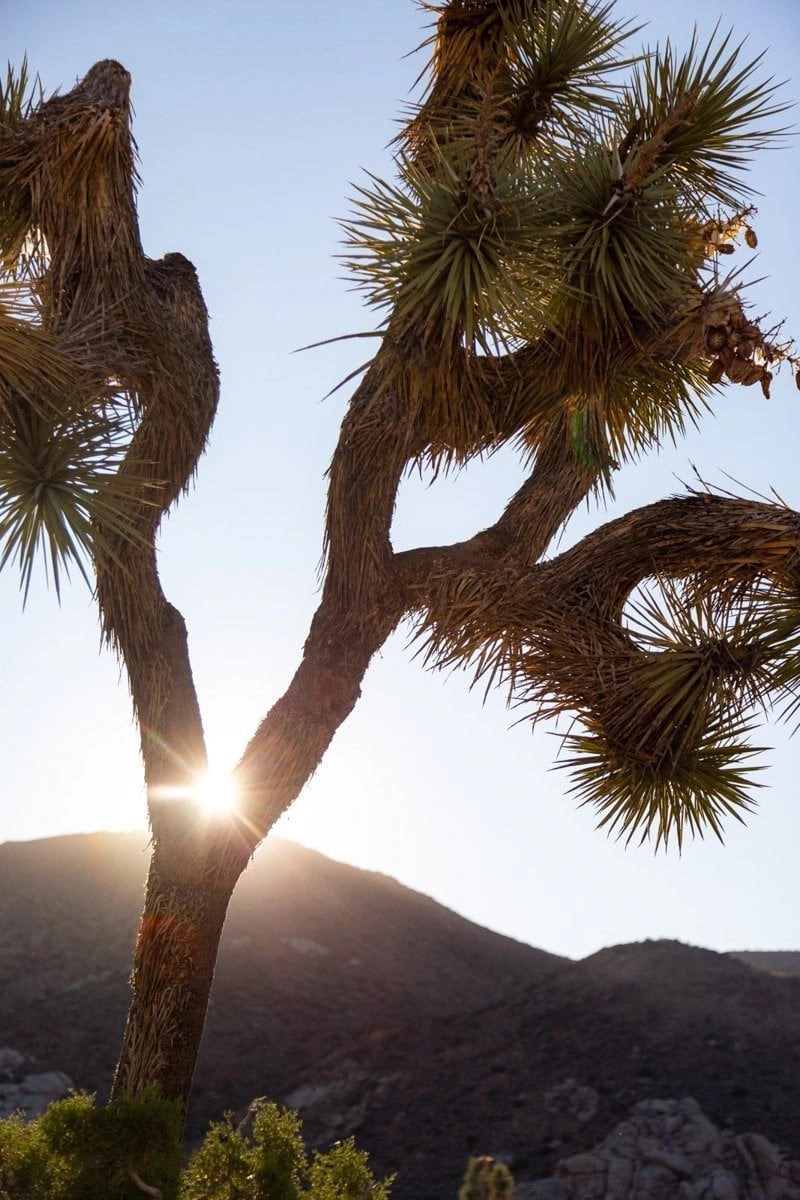 joshua tree with the sun