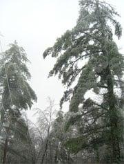 Trees Heavy in New England Ice Storm
