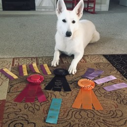 1.5 years old BOB over 2 grand championships and multiple Group placements!
