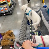 Day one training for Teddy in Walmart-Future service super puppy