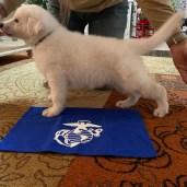 Teddy aka service puppy