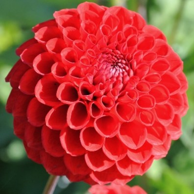 Blyton Lady in Red Miniature Ball Dahlia