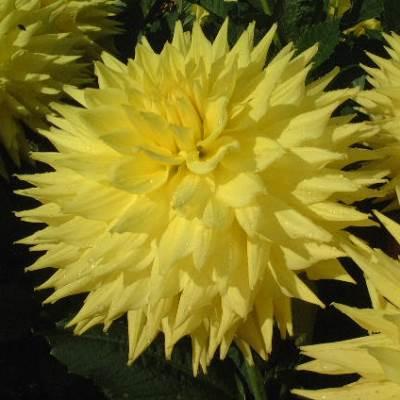 Janal Amy. Giant Semi Cactus Dahlia.