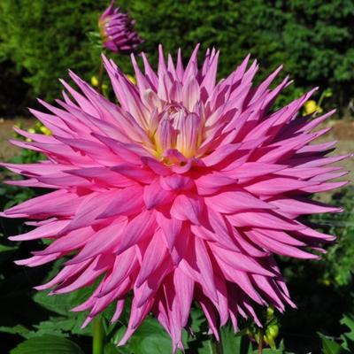 Pink Jupiter. Giant Semi Cactus Dahlia.