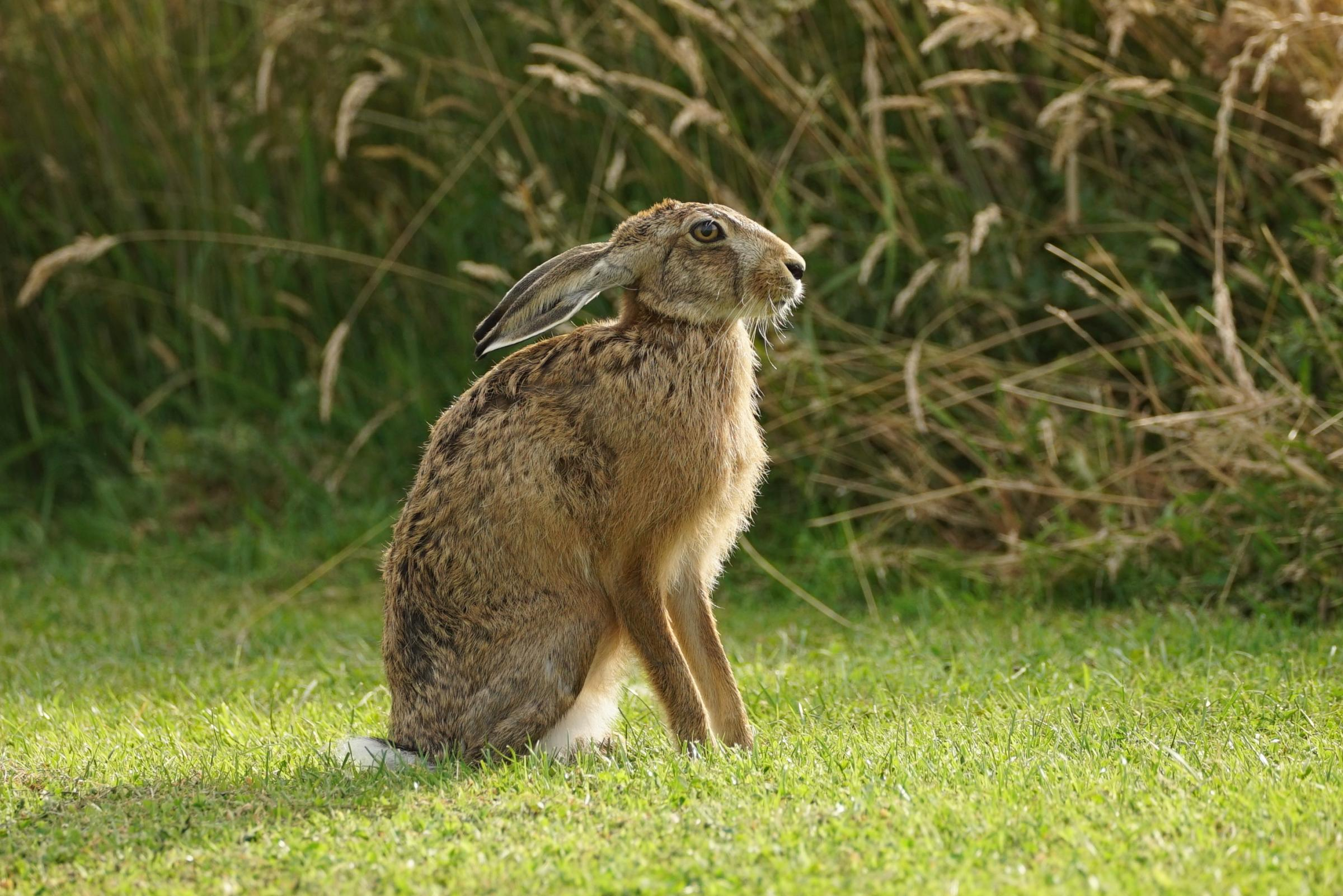 myxomatosis found in hares