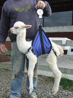 Weigh Sling Cria  Animal Halters