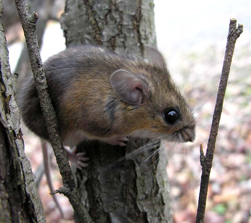 Rodent Extermination - Mice & Rat Control Burlington, Oakville ...