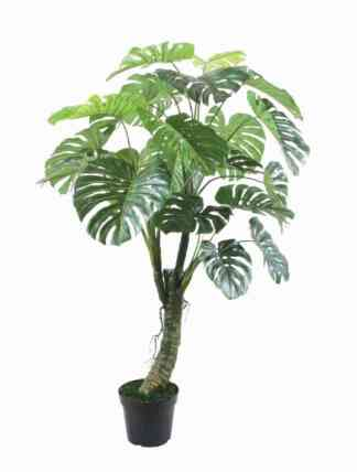 150Cm Monstera With Pot