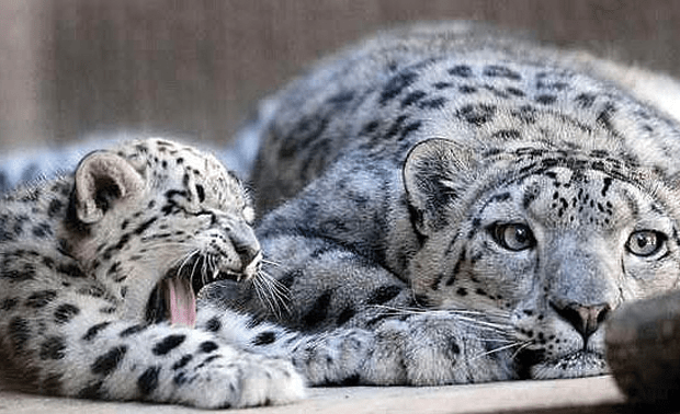 Cute Twins Baby Hd Wallpaper Exotic Animals You Won T Believe Exist In Pakistan خطرے