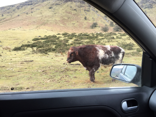 Thankfully the cow went around my car and not over it!