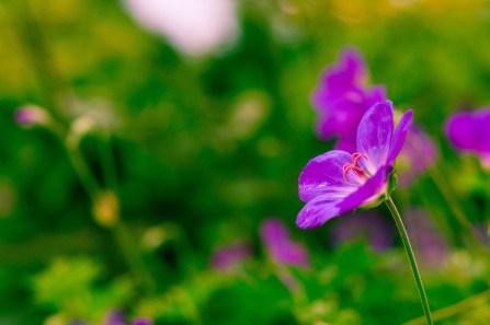 Violette Blume Foto