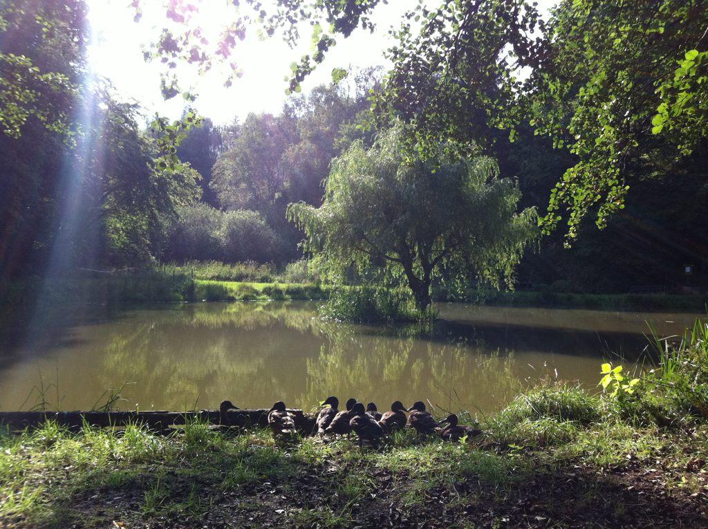 Fischteich in Bremthal mit Entenfamilie  Blogging