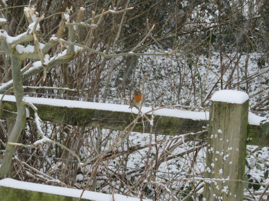 The robin on a fence