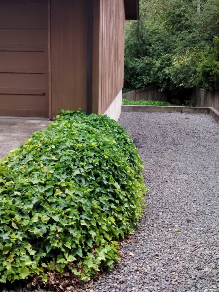 Small slope full of English ivy