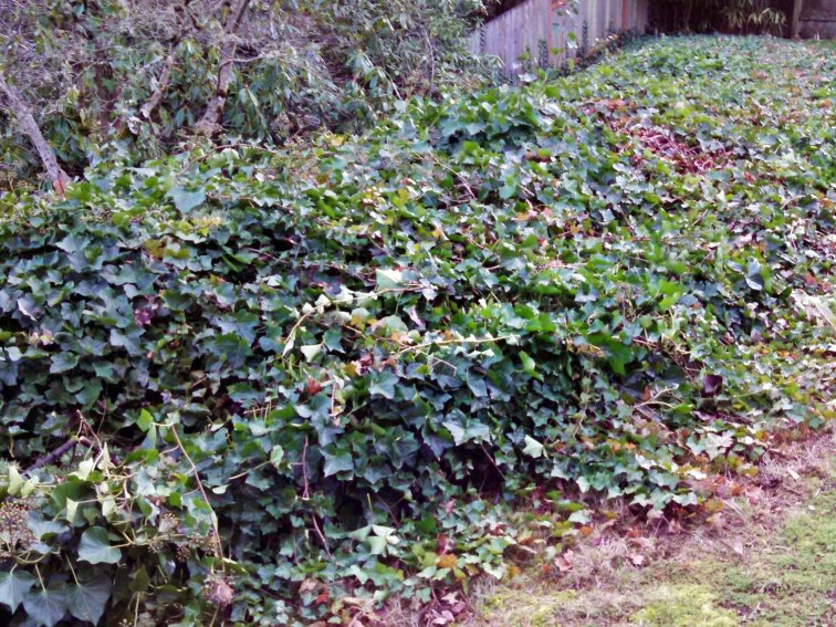 How to Get Rid of Ivy for Good: Out of control ivy