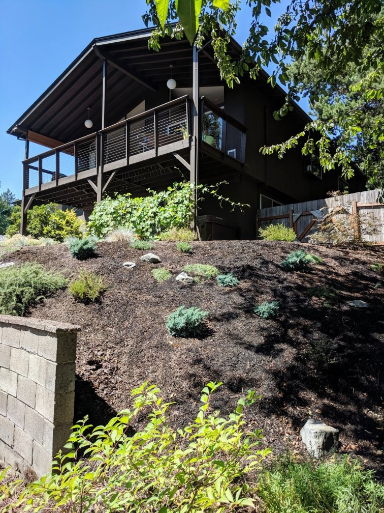 Mid-century modern backyard slope after removing ivy