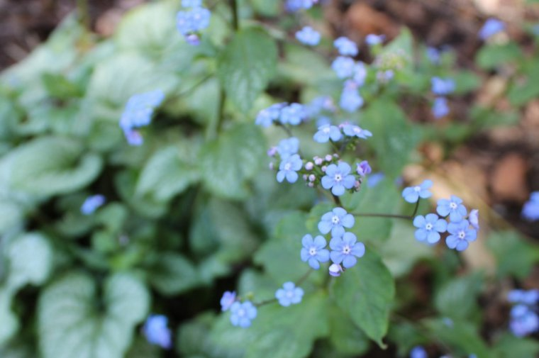 Jack Frost Brunnera Macrophylla, a shade-loving perennial with tiny blue flowers that resemble forget-me-nots