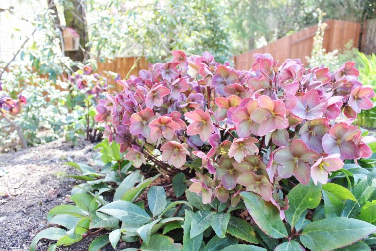 Pink Frost Hellebore, AKA Lenten Rose, is a beautiful evergreen that blooms in winter and spring