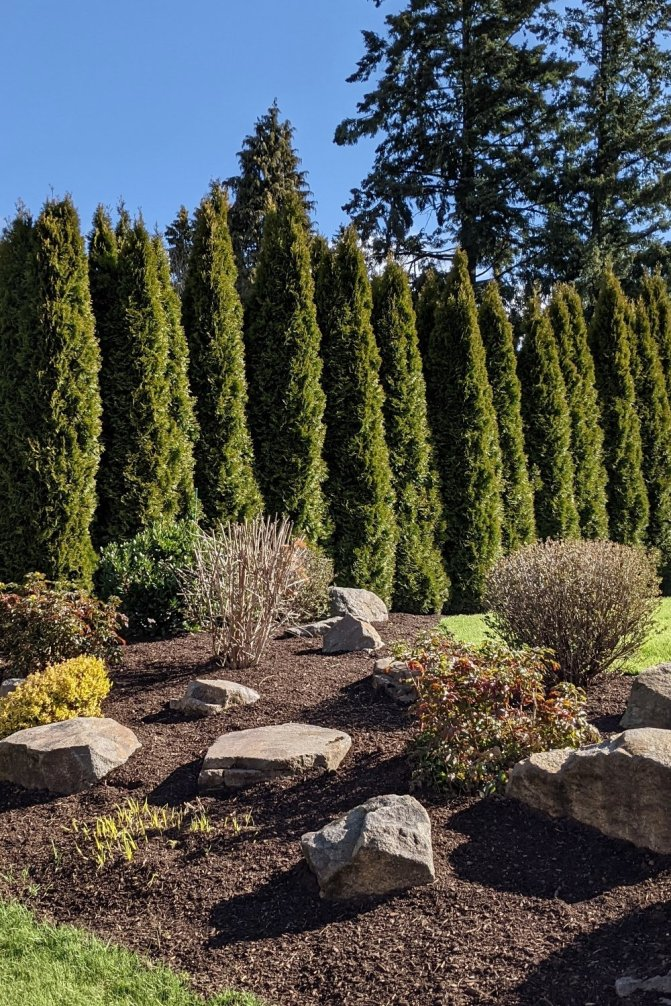 Beautiful arborvitae privacy hedge and shrub landscaping