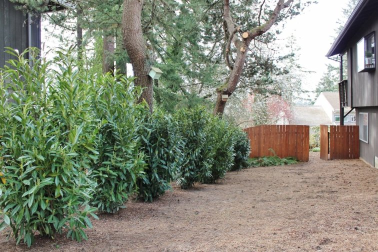 Evergreen laurel shrubs creating privacy between yards
