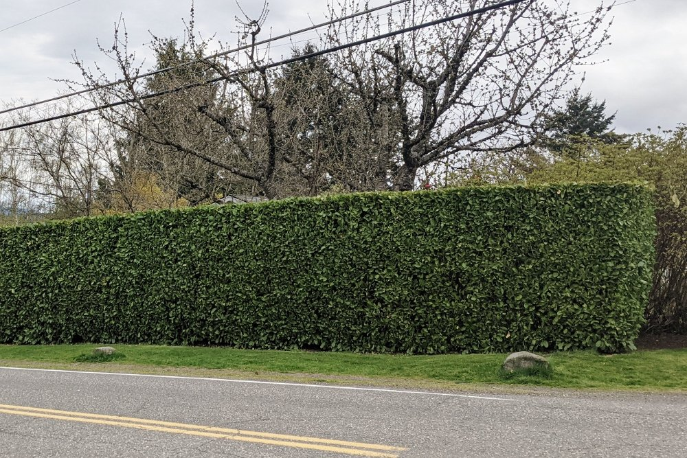 Nicely pruned laurel privacy hedge
