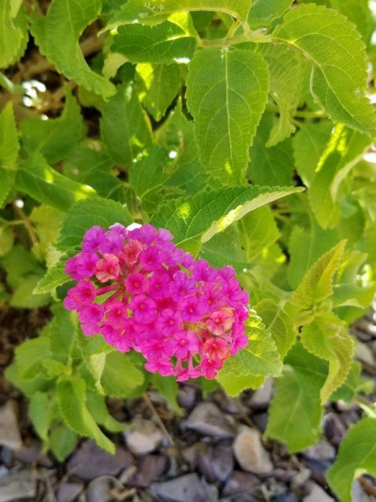 Pink lantana growing in Arizona