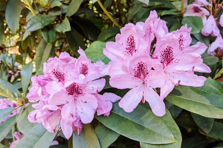 Pink rhododendrons in woodland backyard garden