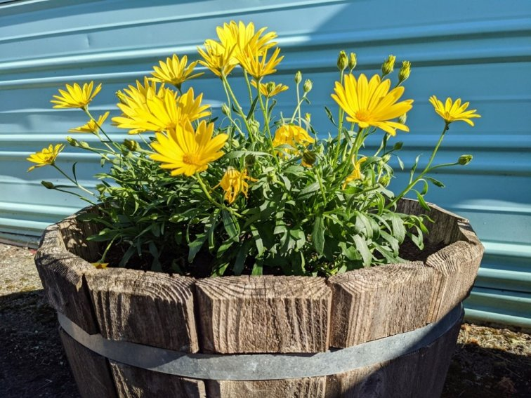 Yellow daisies blooming in whiskey barrel