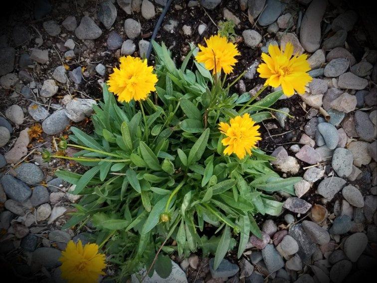 Yellow gaillardia blanket flower in Arizona
