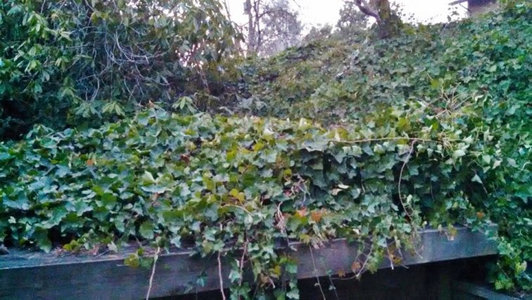 Lots of ivy covering future deck area