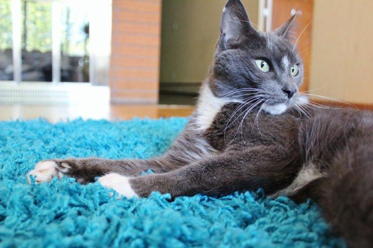 Gray cat relaxing on modern shag rug