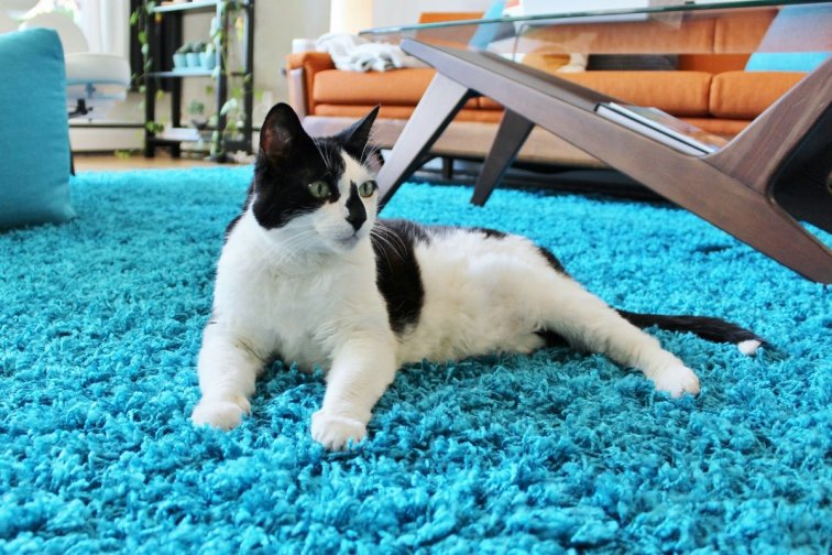 Cat relaxing on modern turquoise area rug