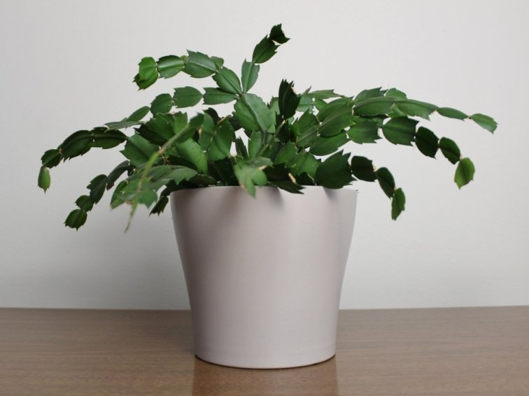 Happy Christmas cactus growing in a pot indoors