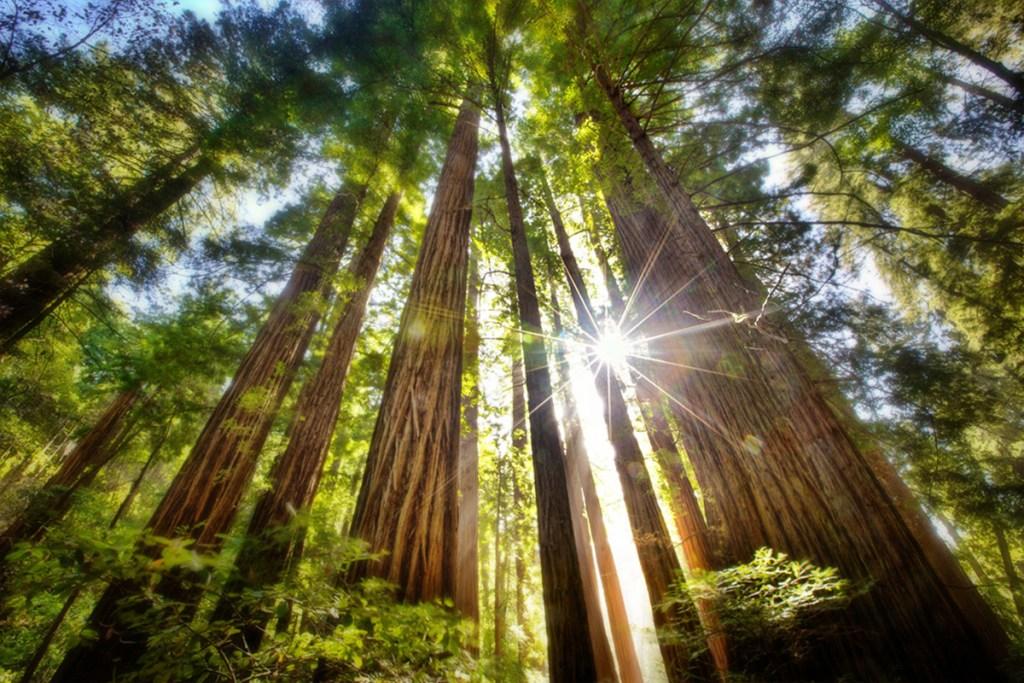 redwoods trees