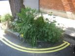 Guerilla Gardening - tree pits in Galloway Road