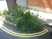 Guerilla Gardening - tree pits in Galloway Road